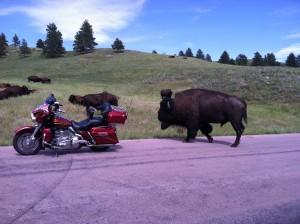 buffalo meets biker