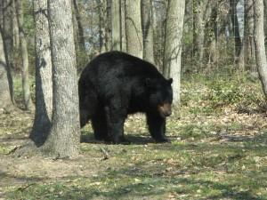 rving bear